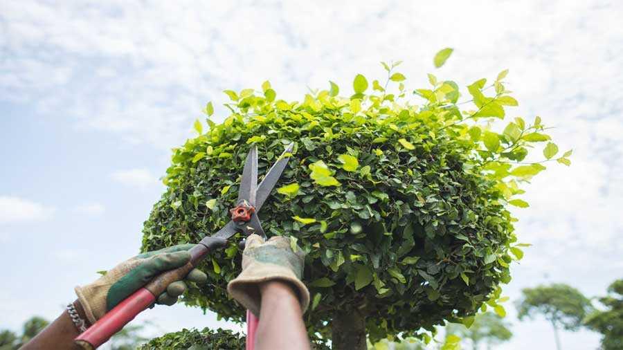 Une cisaille pour l'entretien de son jardin